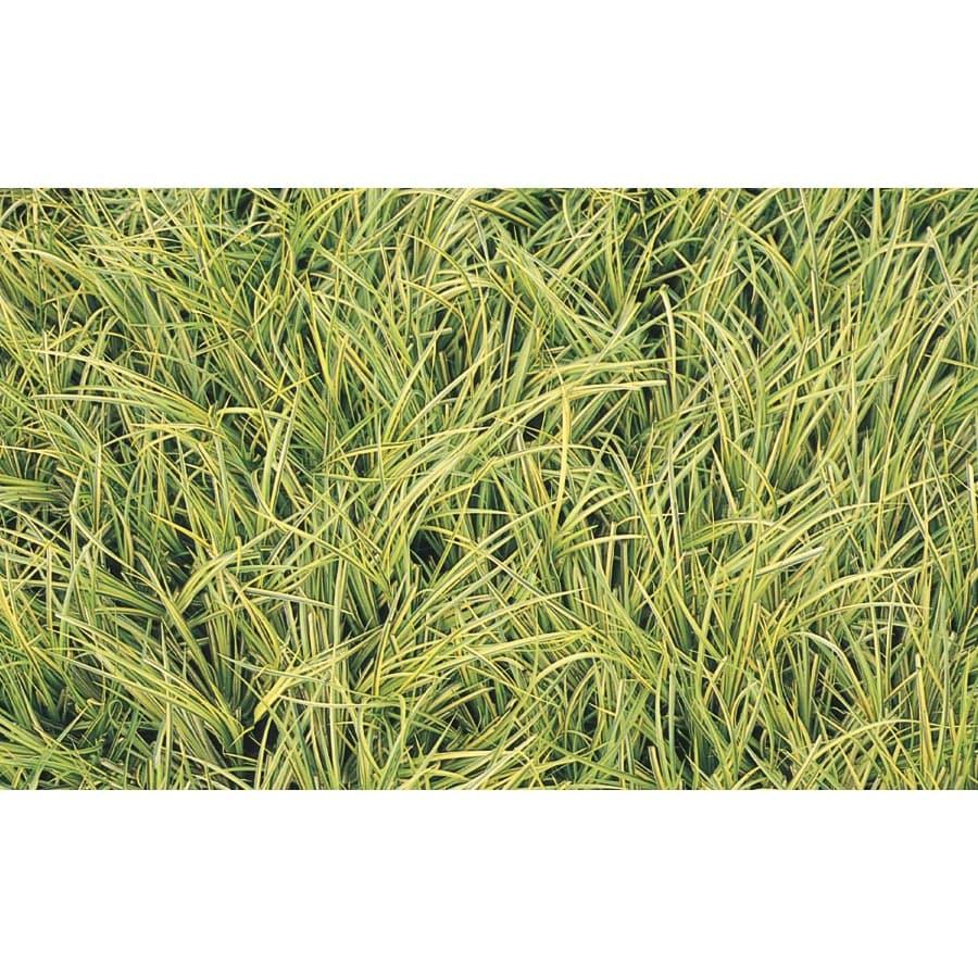 2.5-Quart Sweet Flag Grass (L14982)