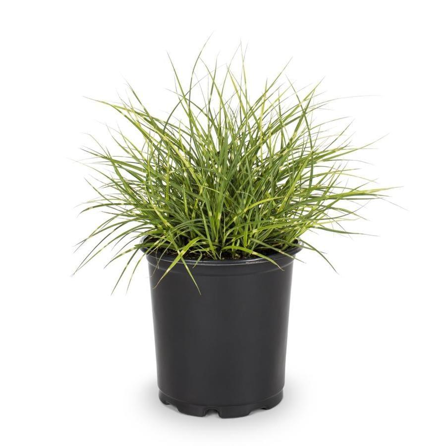 Ornamental grasses zone 5 - 2 5 Quart Eulalia Grass L3912