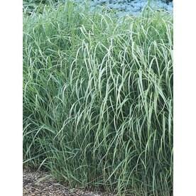 Shop ornamental grasses at lowes 25 quart switch grass l8329 workwithnaturefo
