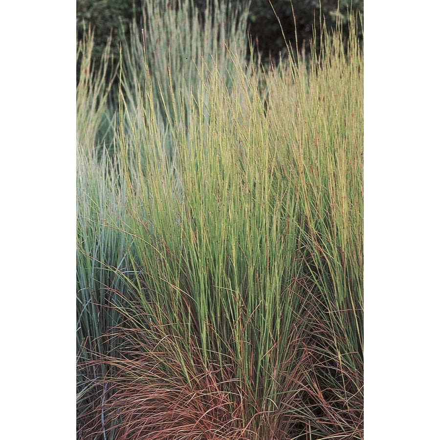 2.5-Quart Little Bluestem Grass (LW02670)
