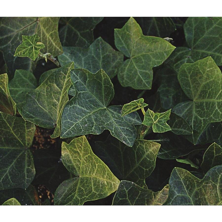 English Ivy (L3258)