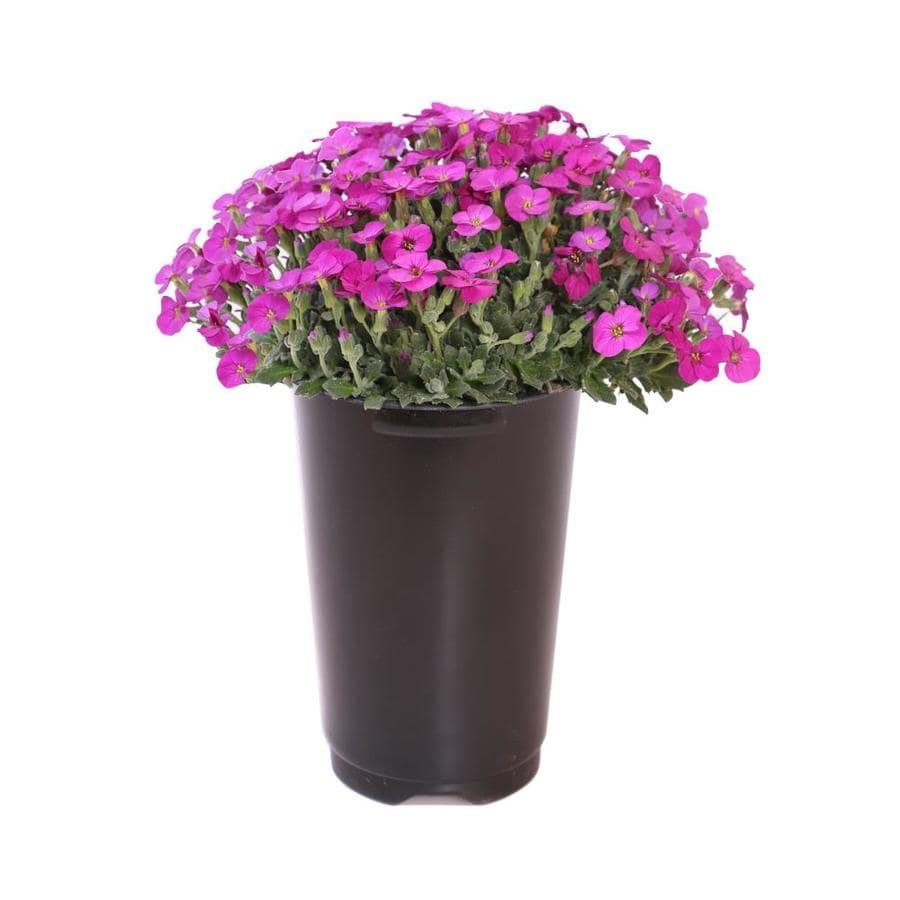 2.5-Quart Purple Rockcress (L4953)