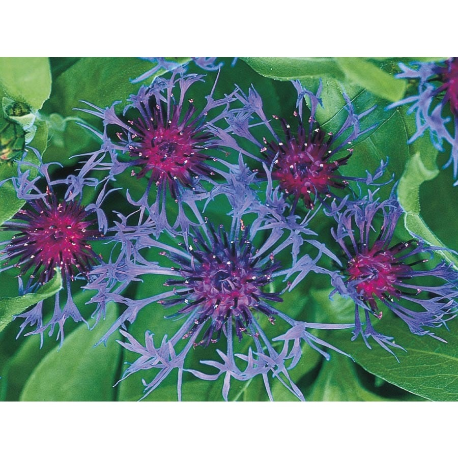 2.5-Quart Mountain Bluet (L5708)