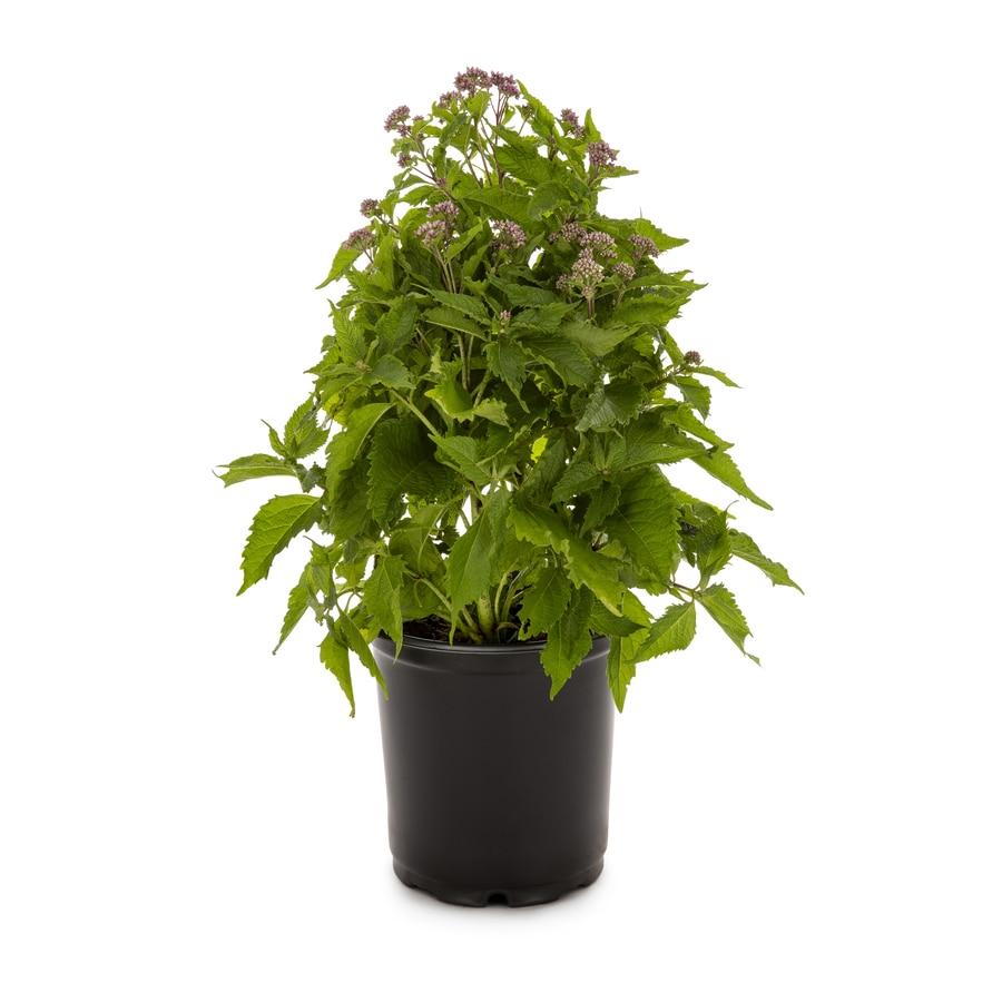 2.5-Quart Joe Pye Weed (L8159)