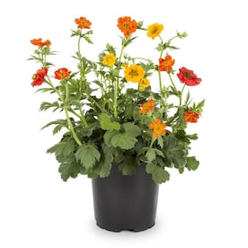 2.5-Quart in Pot Single Orange Avens (L4958)
