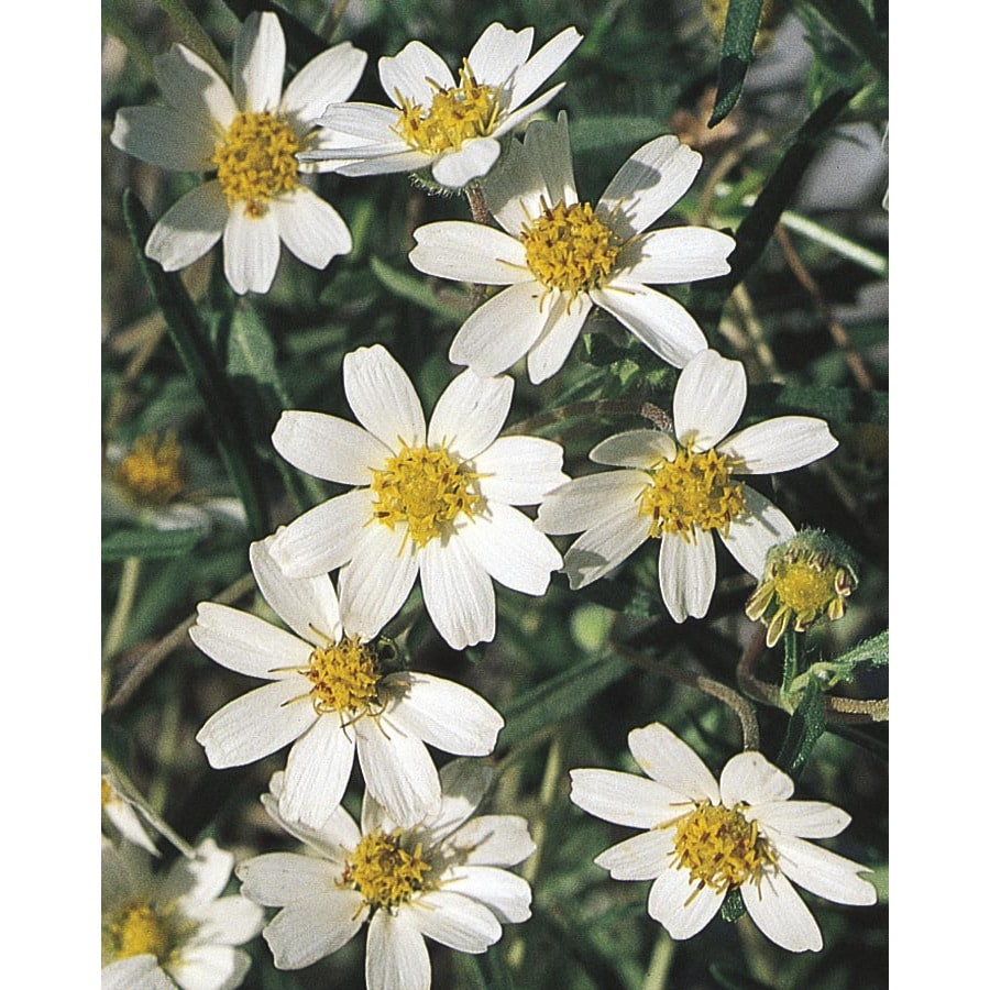 2.5-Quart Black Foot Daisy (L10403)