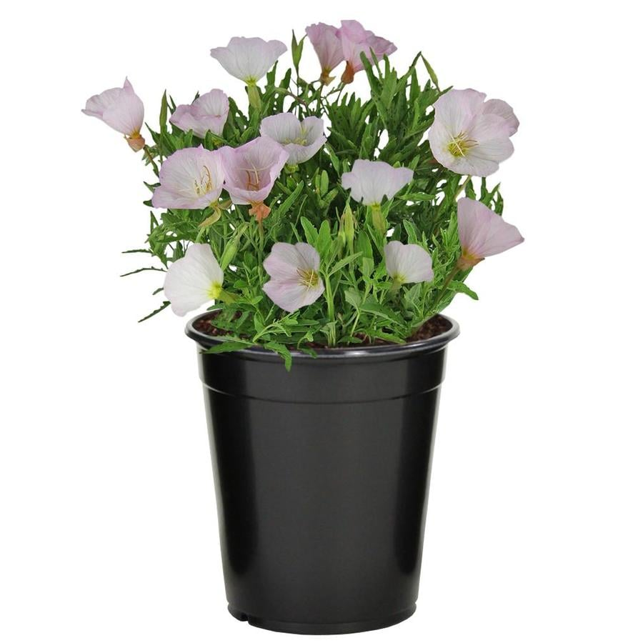 2.5-Quart Mexican Evening Primrose (L5045)