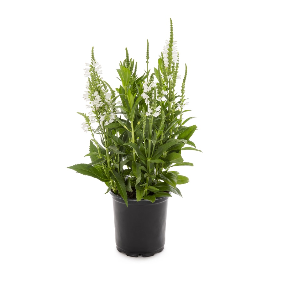 2.5-Quart Obedient Plant (L11508)