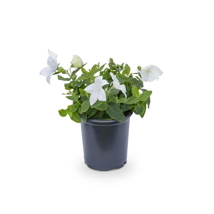 2.5-Quart Balloon Flower (L5676)