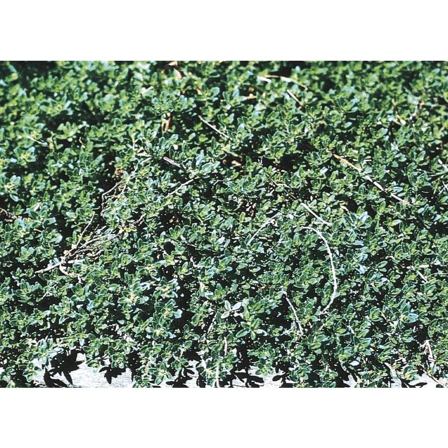 2.5-Quart Creeping Thyme (L6091)