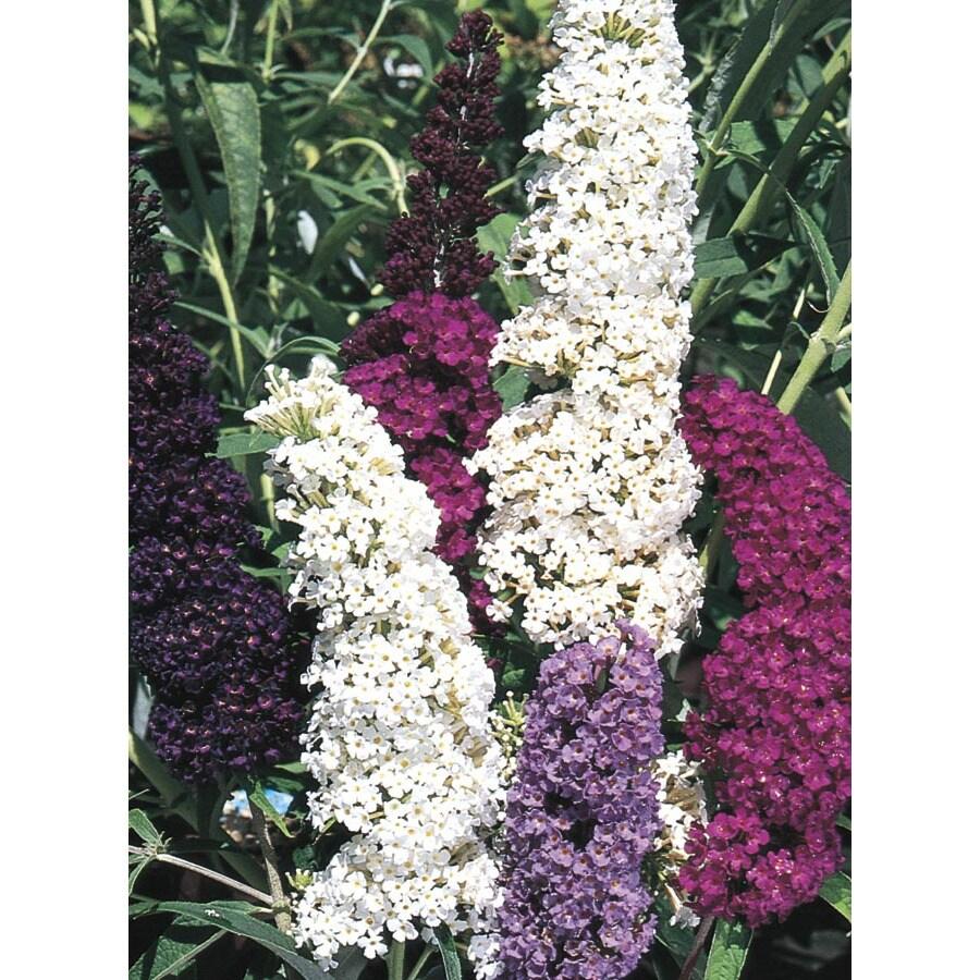 2.5-Quart Purple Butterfly Bush Flowering Shrub (L8073)