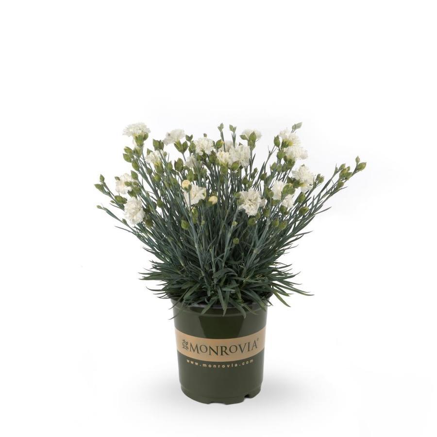 Monrovia 2.5-Quart Dianthus (L9857)
