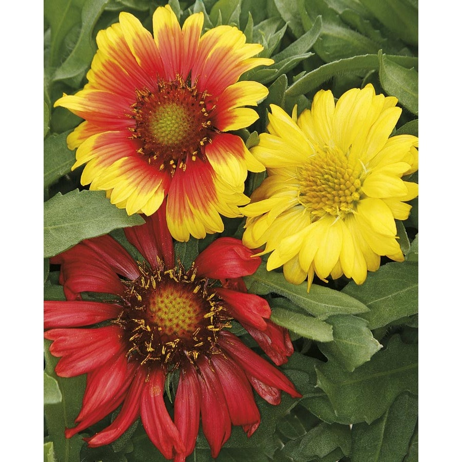 Monrovia 2.5-Quart Blanket Flower (L10067)