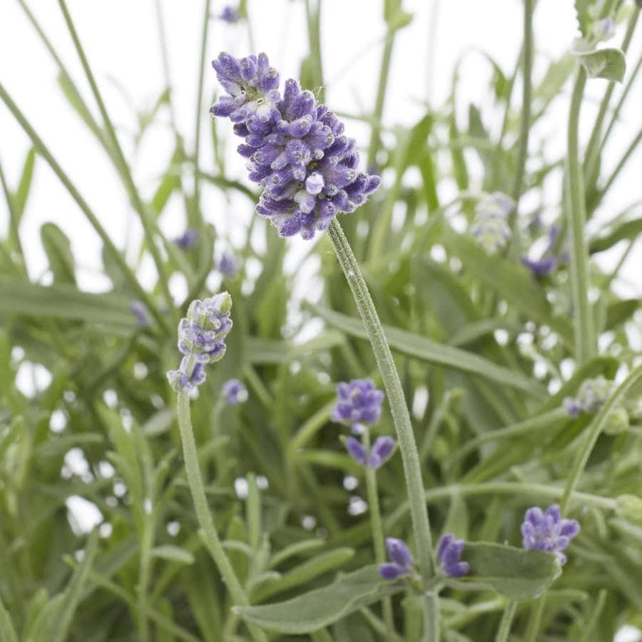 Monrovia 2.5-Quart English Lavender (L6071)