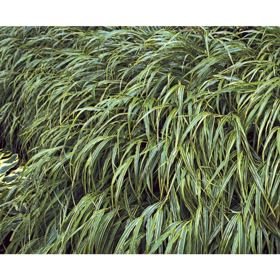 Monrovia 2.5-Quart Variegated Japanese Forest Grass (LW03974)