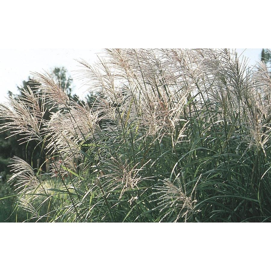 Monrovia 2.5-Quart Maiden Grass
