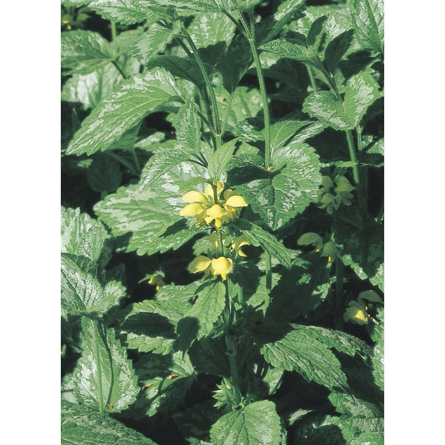 6-Pack Yellow Archangel (L01084)