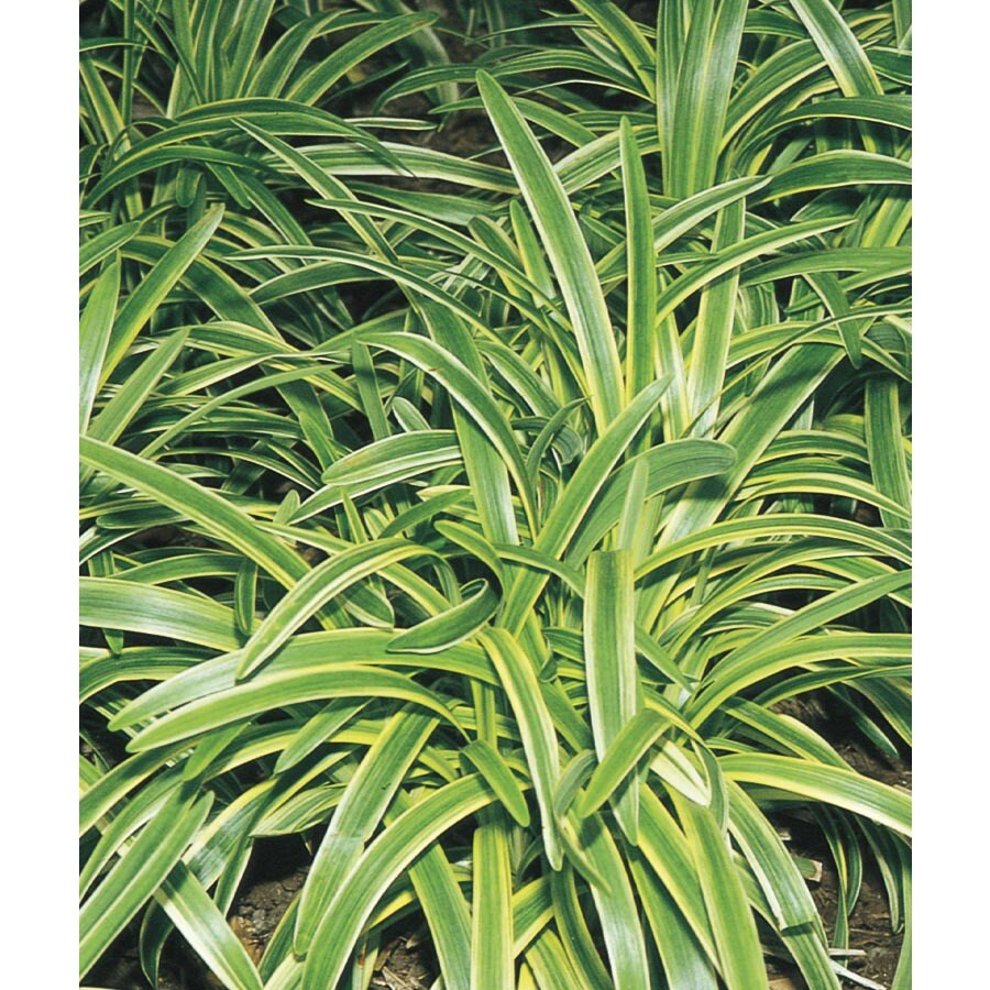 6-Pack Variegated Liriope (L3326)