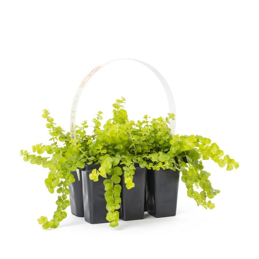 Shop 6 Pack Creeping Jenny Tray L2652 At Lowes Com