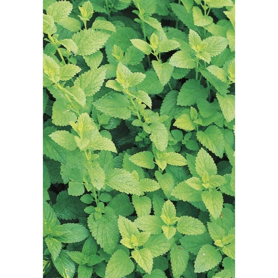 6 Pack Spearmint (L0159)