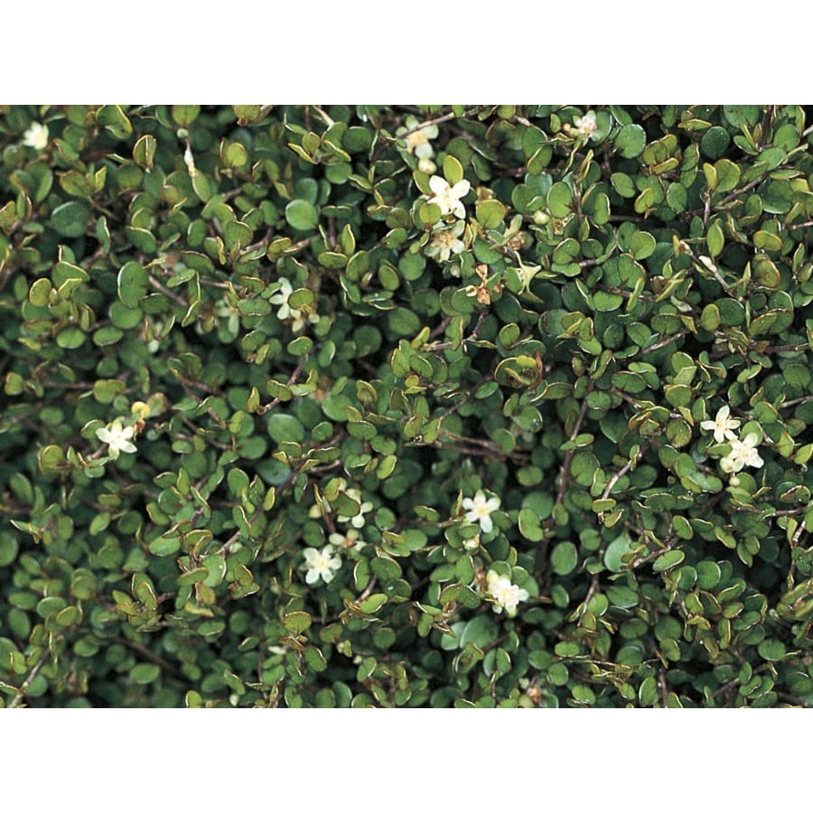 6-Pack Creeping Wire Vine (L2887)