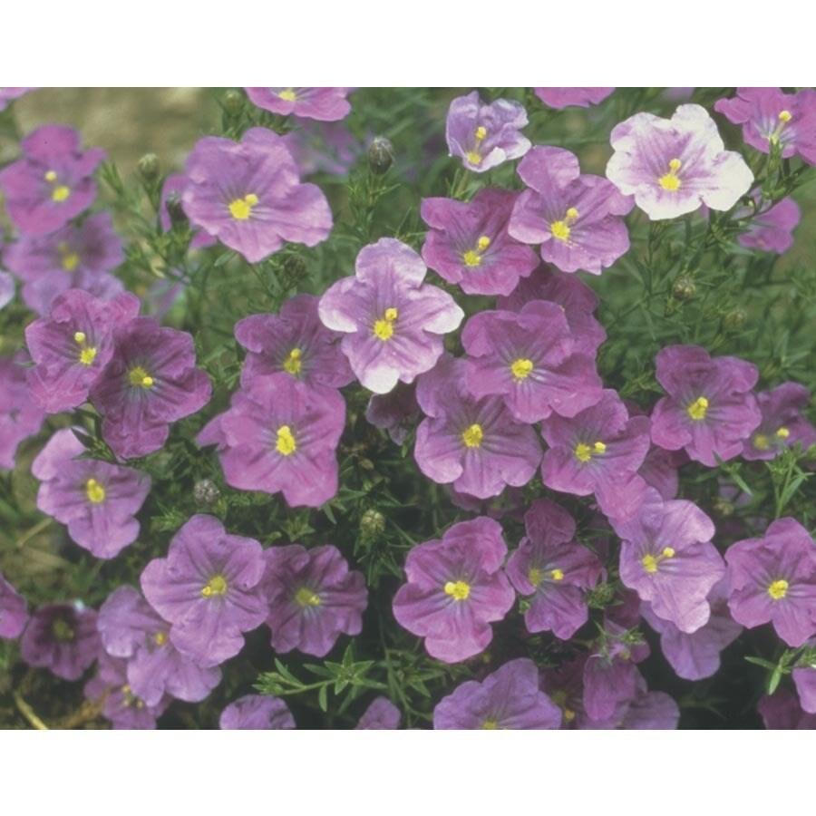 6-pack Dwarf Cup Flower (Lw03821)