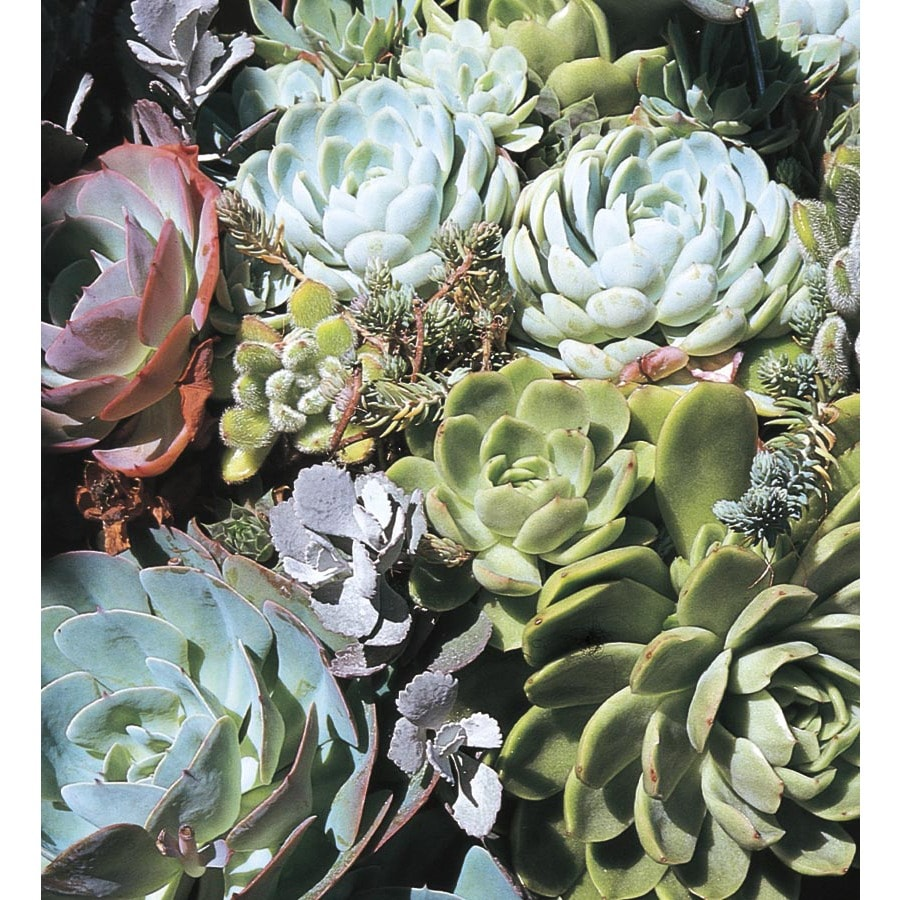 6-Pack Hardy Hens and Chicks Tray (L24889)