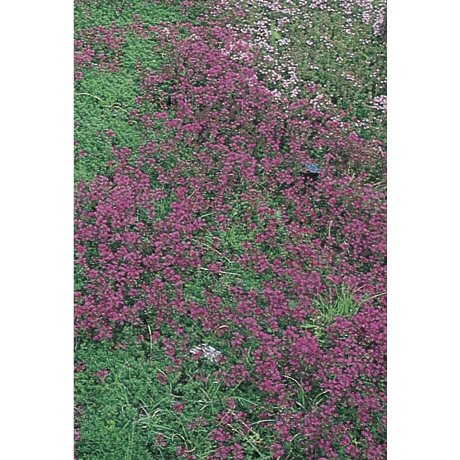 6-Pack Creeping Thyme Tray (L2902)