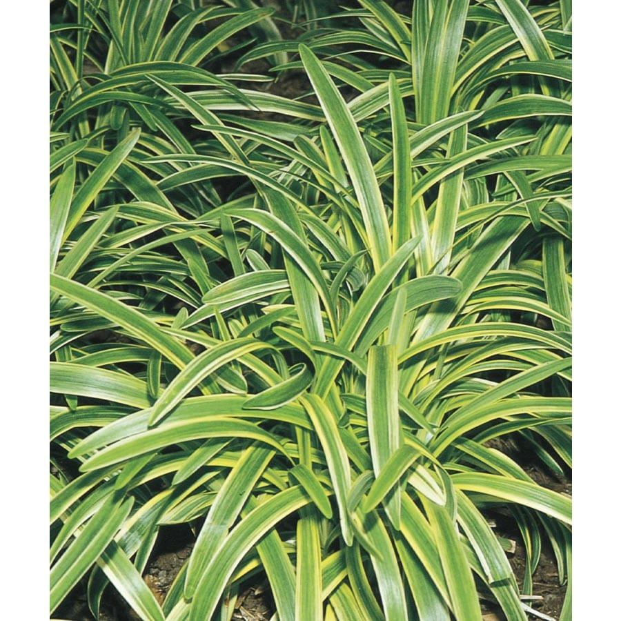 Shop 9 Pack Variegated Liriope Tray L3326 At Lowes