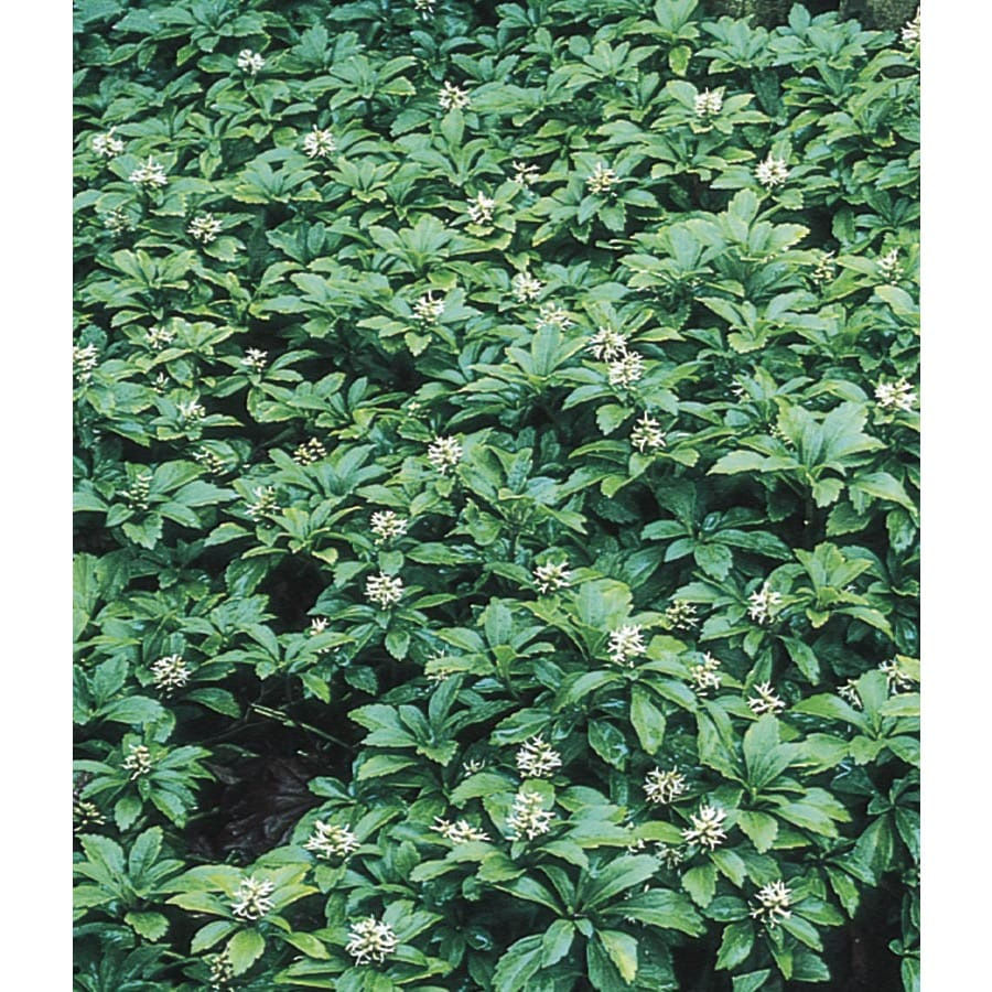 9-Pack Japanese Spurge Tray (L4289)