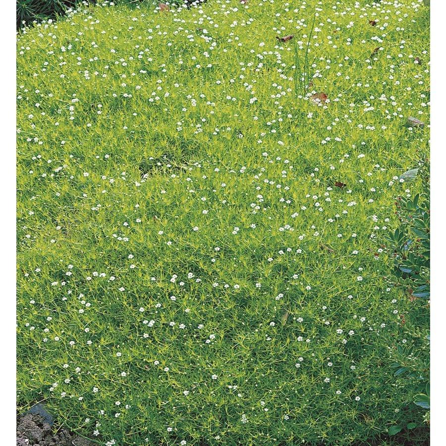 9-Pack Irish Moss Tray (Lw04022)