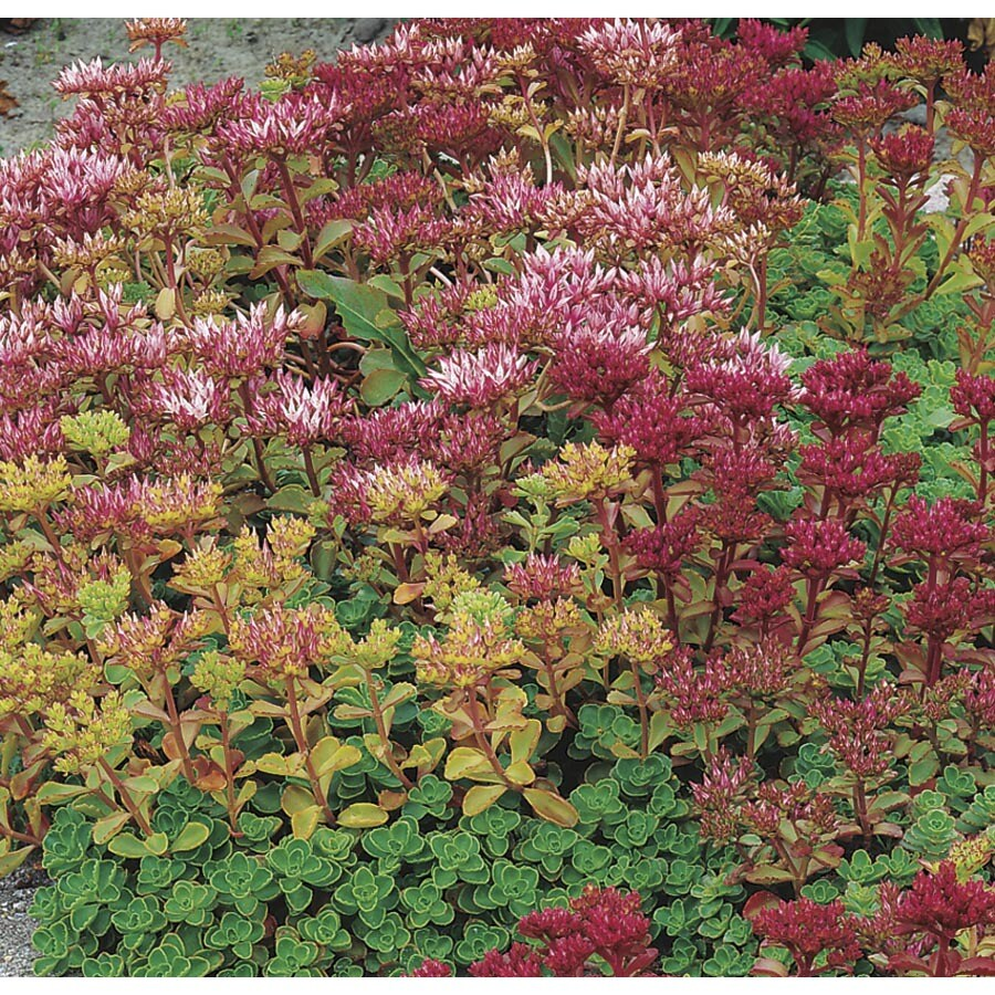 9-Pack Stonecrop Tray (Lw01452)