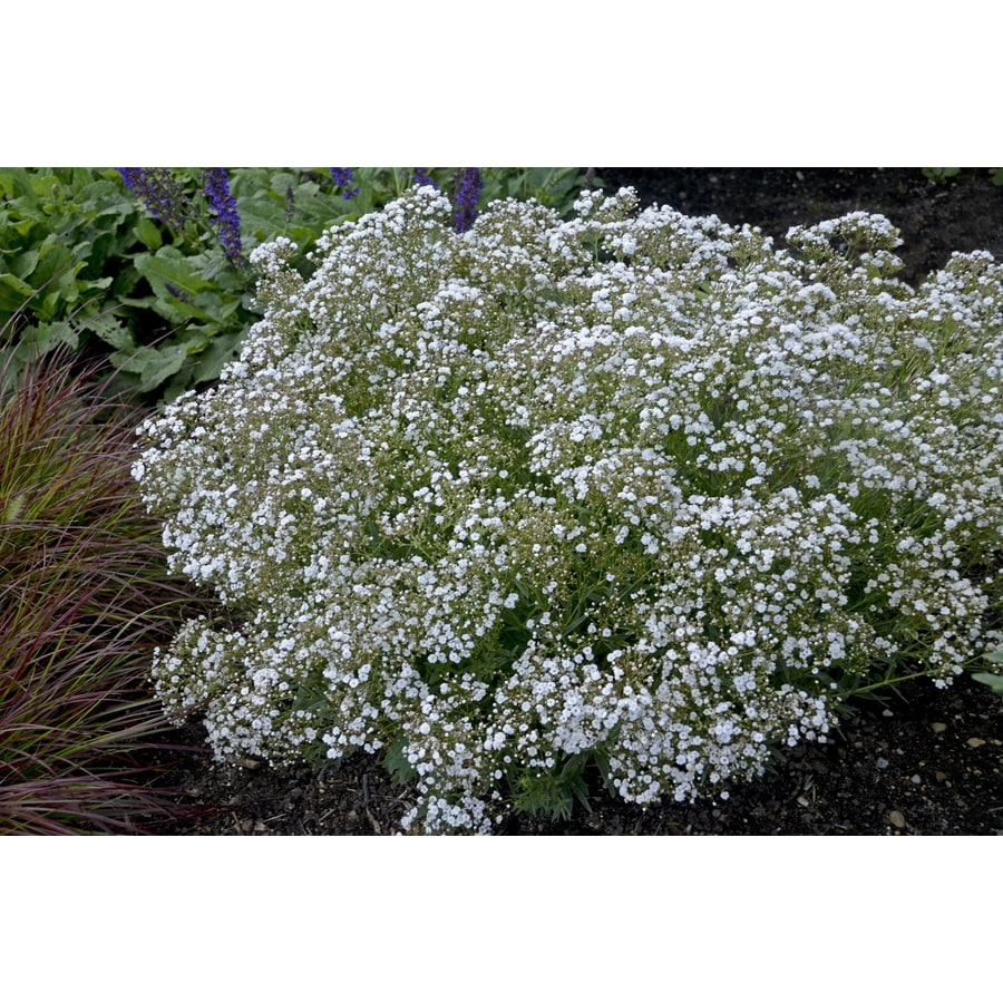 2-Quart Gypsophila