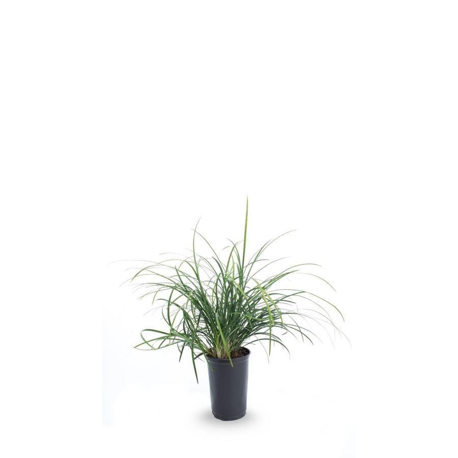 1-Pint Mondo Grass Pot (L4050)
