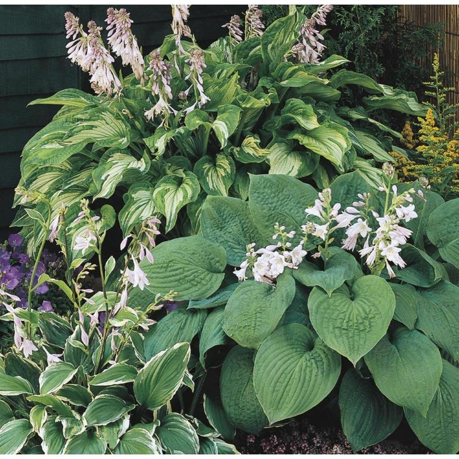 1-Gallon Plantain Lily (Lb029)