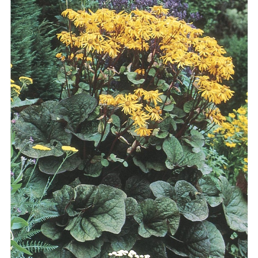 Monrovia 1-Gallon Ligularia (L24896)