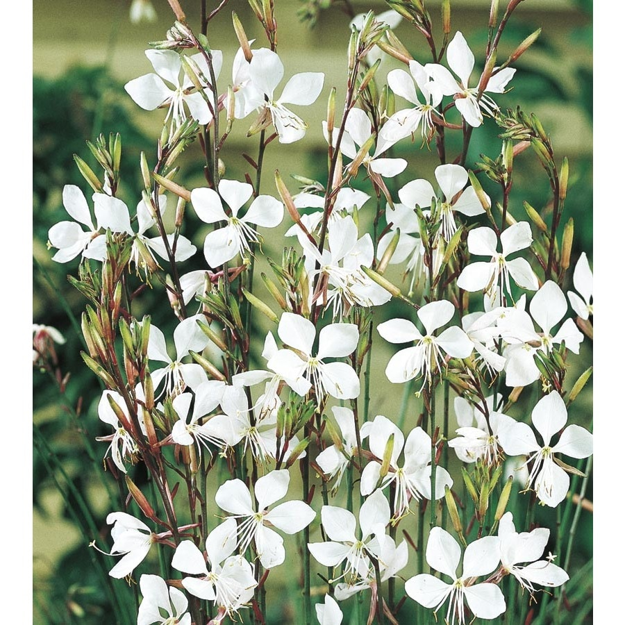 1.5-Gallon Gaura (L8859)