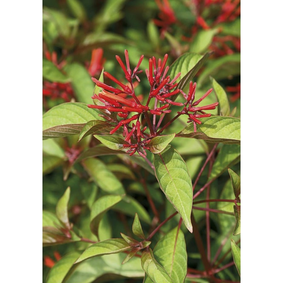2-Gallon Hummingbird Bush (L7028)