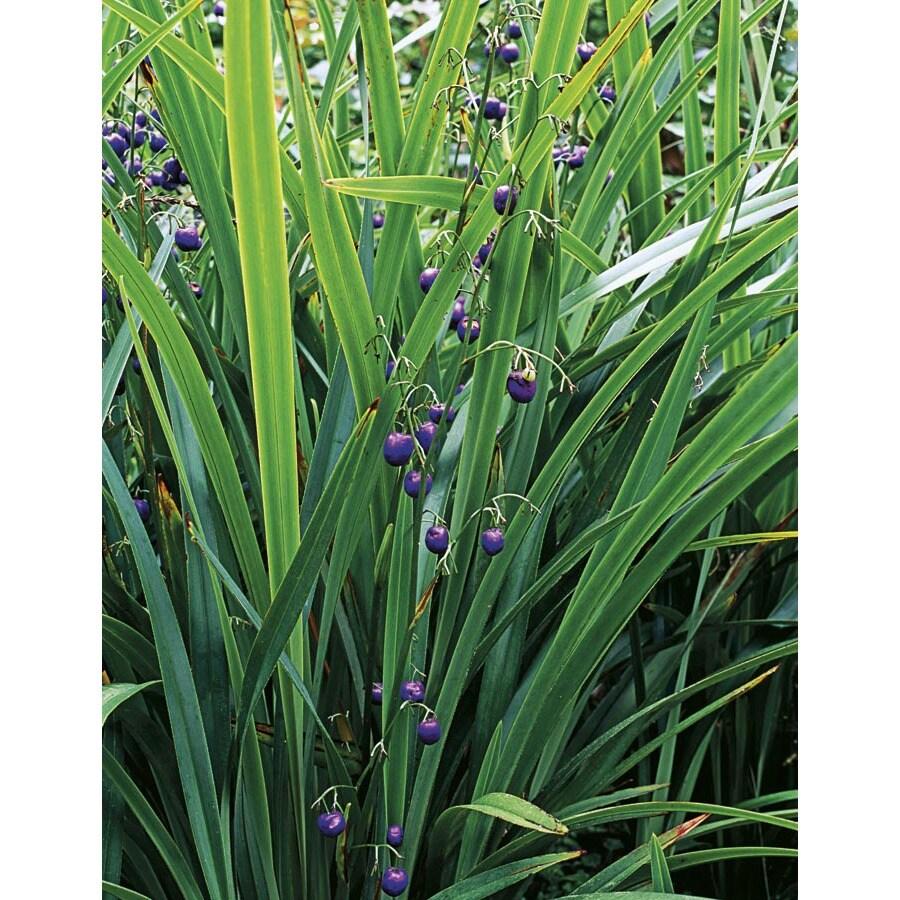 2-Gallon Flax Lily (L20613)