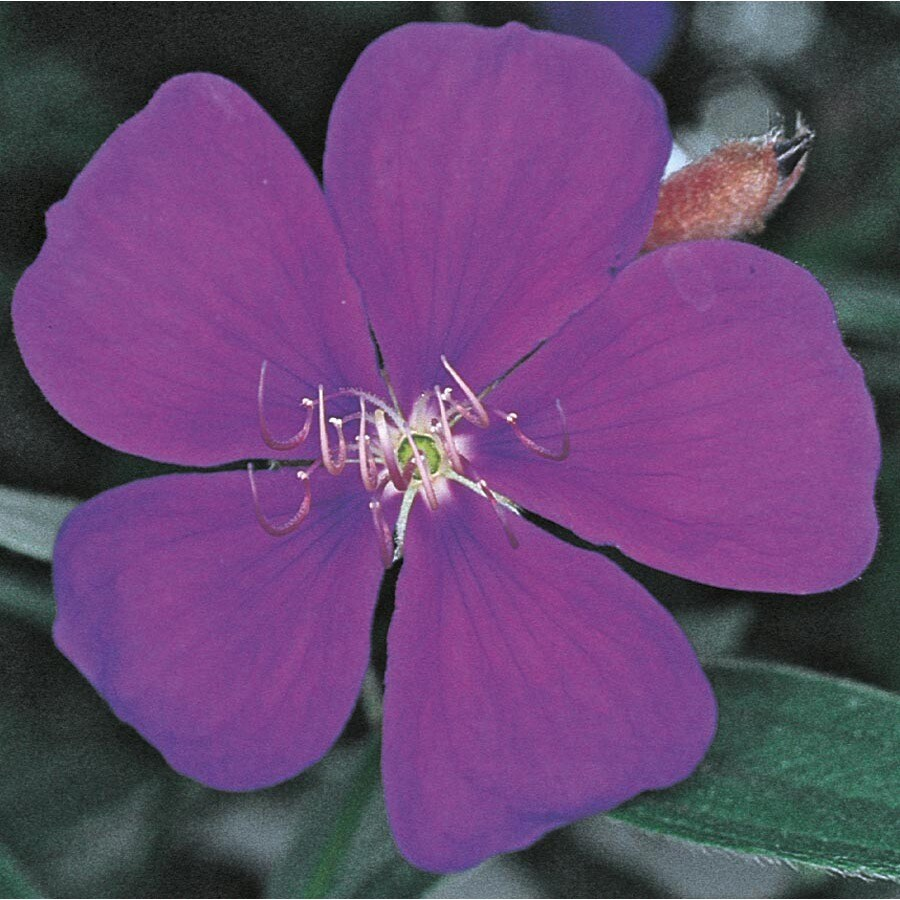 2-Gallon Purple Princess Flower Flowering Shrub (L6323)