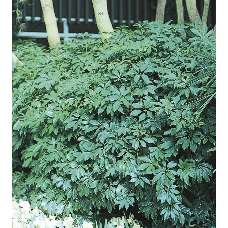 1.5-Gallon Schefflera (LTL0069)