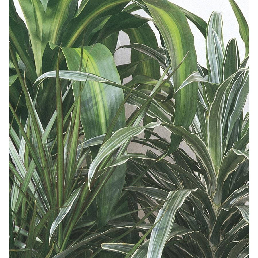 2.25-Gallon Dracaena (L6923HP)
