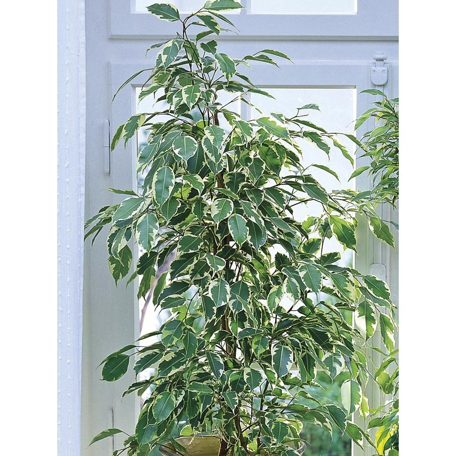 1.75-Gallon Ficus (L20939HP)