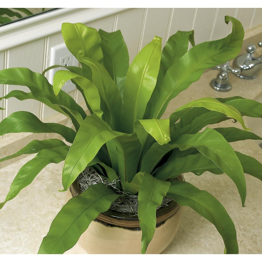 1.4-Quart Bird's Nest Fern (L20918HP)