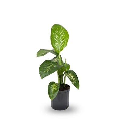 ffenbachia (L20936hp) at Lowes.com on names of house buildings, names of dracaena plants, names of plants inside, names of dry plants, names of office plants, indoor plants, names of herbaceous perennials, names of different houseplants, scientific names of plants, names of gifts, names of unusual plants, names of flowers, names of landscape plants, names of elephant ear plants, names of hibiscus, names of seashore plants, names of climbers, names of fuchsias, names of house design, names of angel plants,
