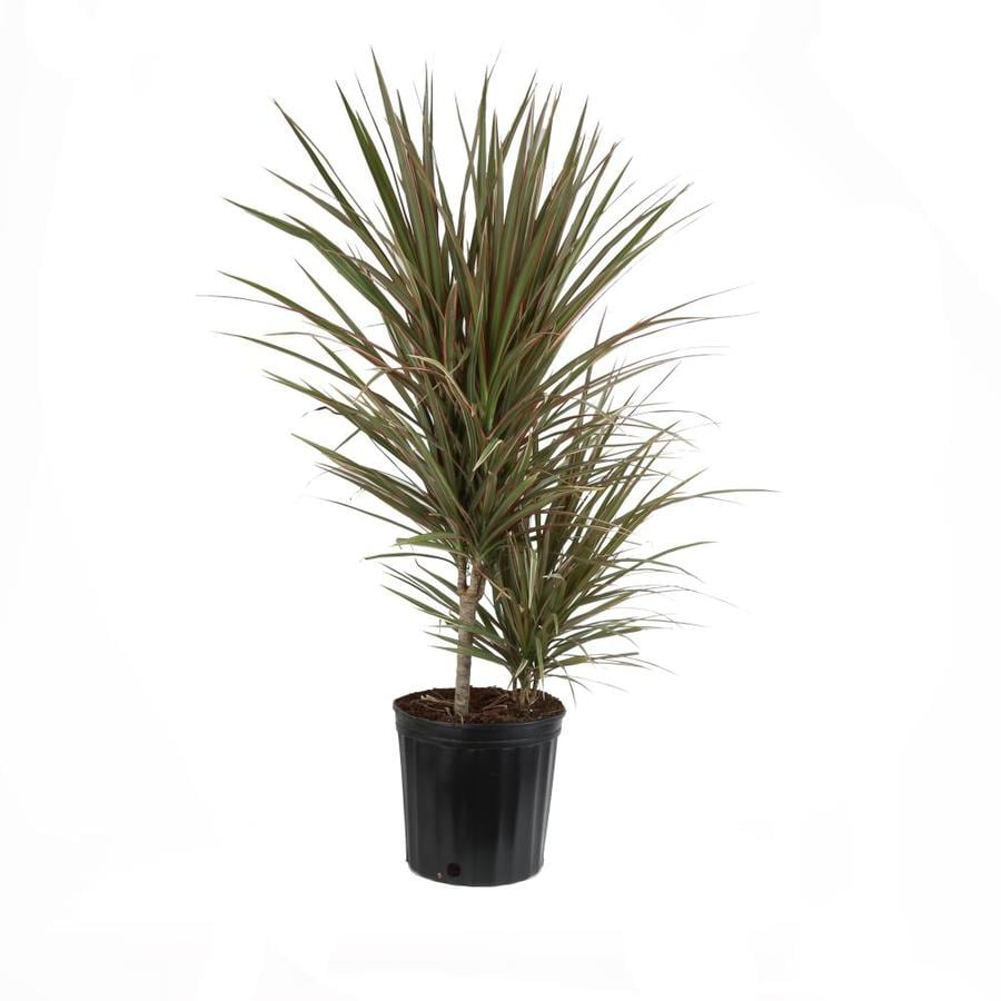 Shop dracaena marginata l7774hp at for Dracaena marginata