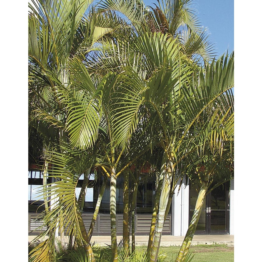 shop 2 gallon areca palm ltl0010 at lowes com