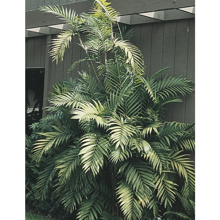 1-Gallon Cat Palm (LTL0008)
