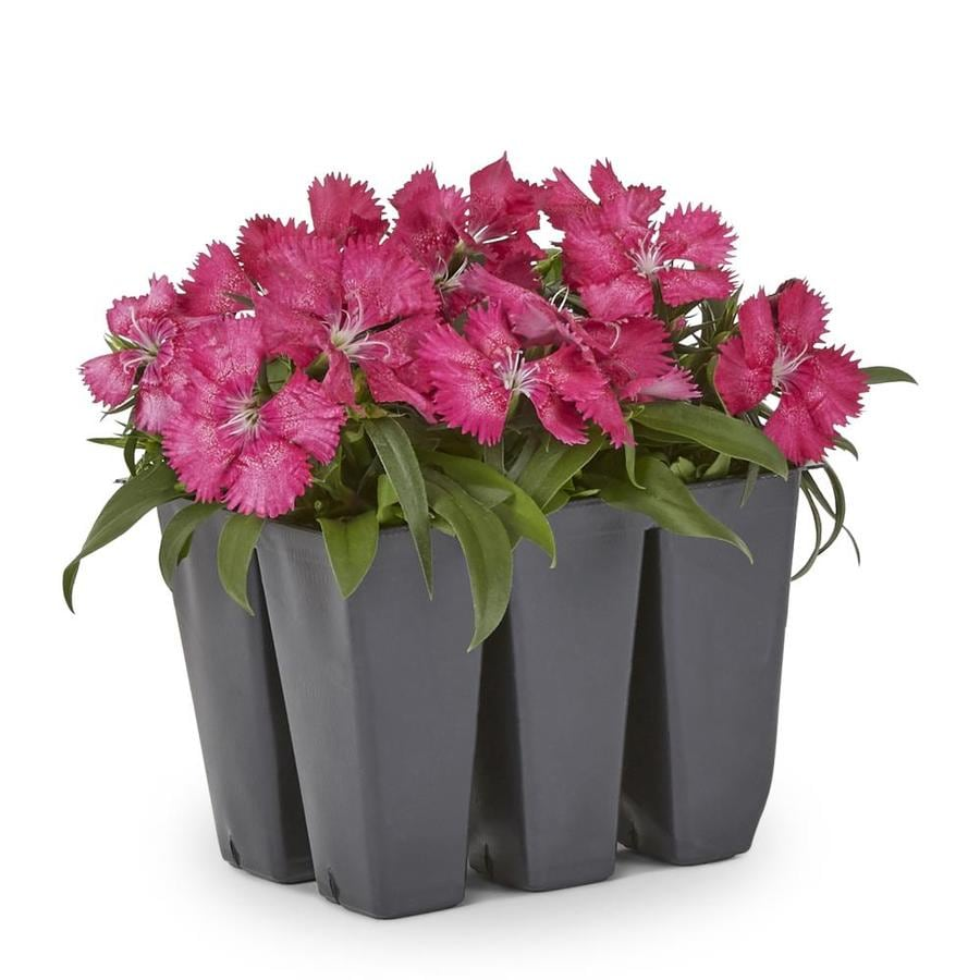 Shop 6 Pack Multicolor Dianthus In Tray L17860 At Lowes