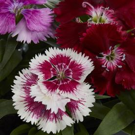 6-Pack Multicolor Dianthus in Tray (L17860)
